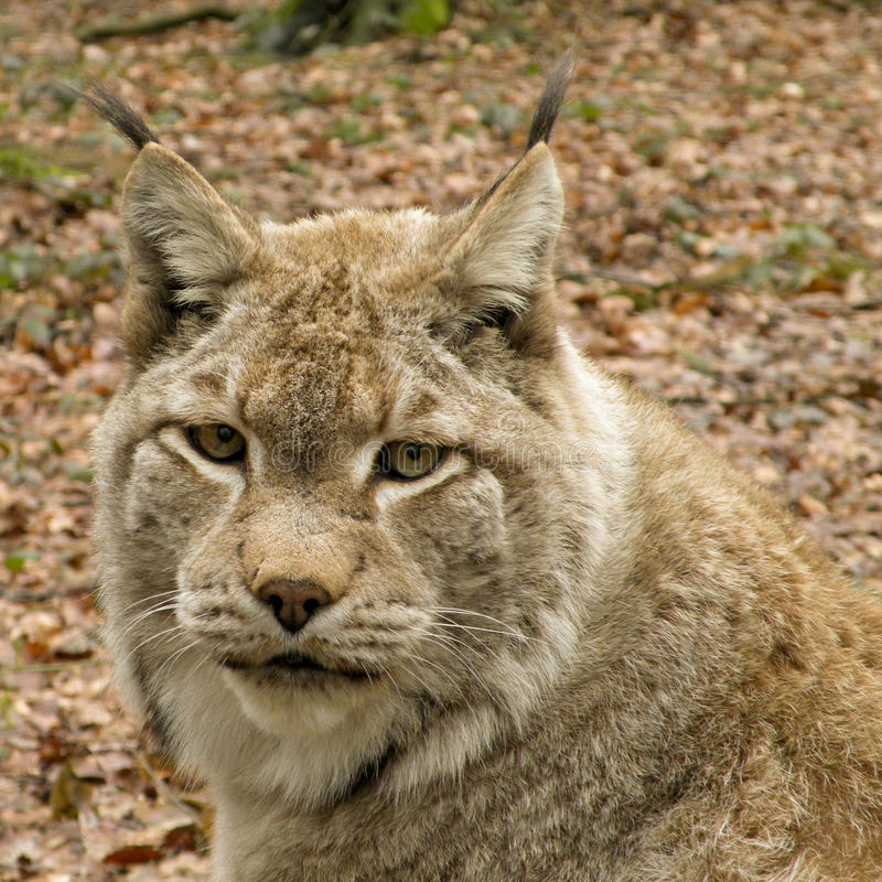 Portait of a lynx