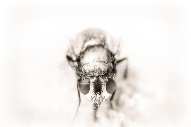 Portait preto e branco da mosca da varejeira imagens de stock royalty free