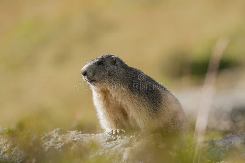 Portait retroiluminado en las montañas francesas, marmota del Marmota, Vano de la marmota imágenes de archivo libres de regalías