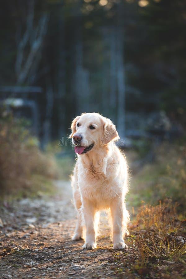 Portait van mooie golden retrieverhond die zich in het geheimzinnige de herfstbos bij zonsondergang in koud weer bevinden stock foto's