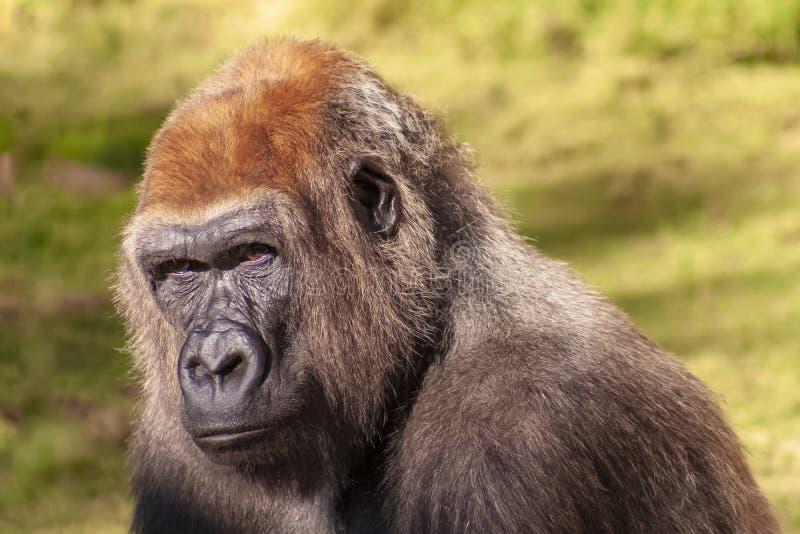 Portarit av en manlig gorilla fotografering för bildbyråer