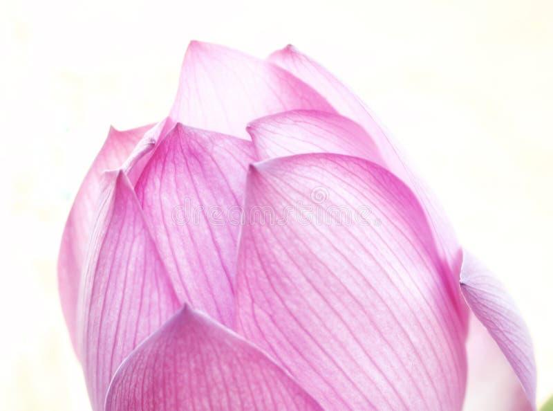 Portate rosa di Lotus Bloom per il sole fotografia stock