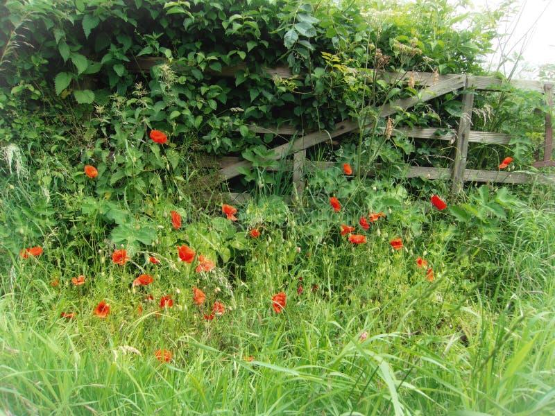 Porte cassée avec les fleurs sauvages de pavot images stock