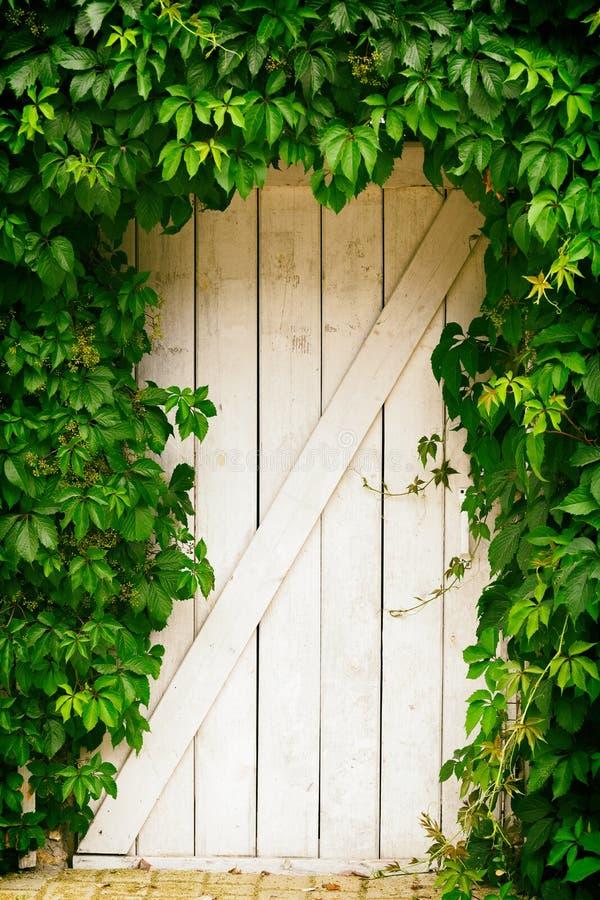 Porte en bois blanche envahie avec des raisins sauvages image libre de droits