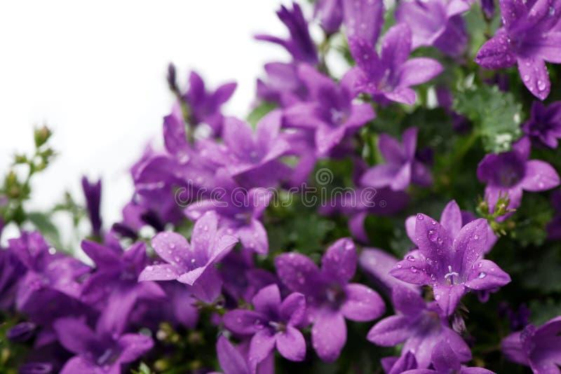Portenschlagiana dálmata púrpura de la campánula de los bellflowers aislado en blanco imagen de archivo