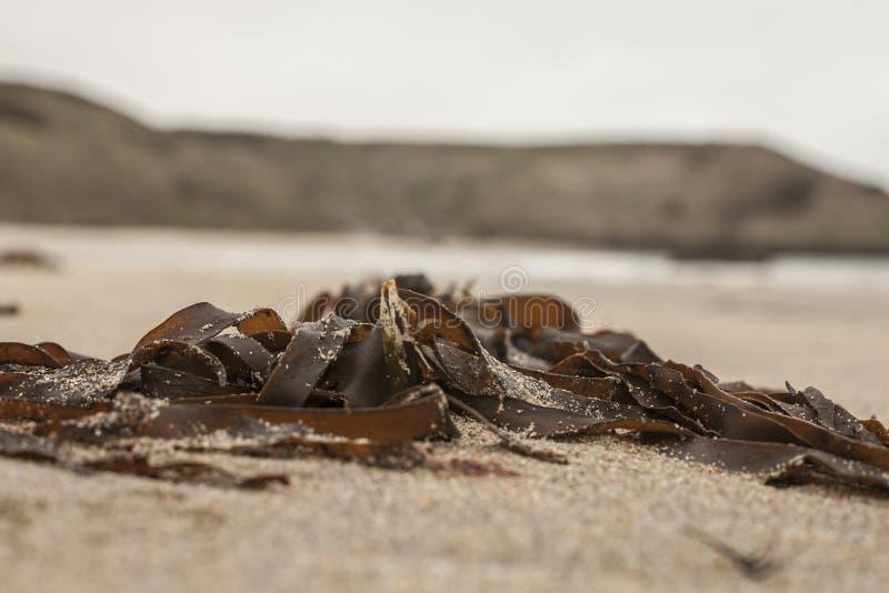 Porthor, as areias de assobio, Gales norte - algas na praia foto de stock royalty free