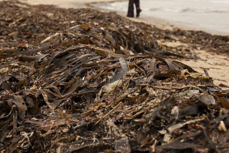 Porthor, as areias de assobio, Gales norte - uma confusão das algas na praia fotos de stock royalty free