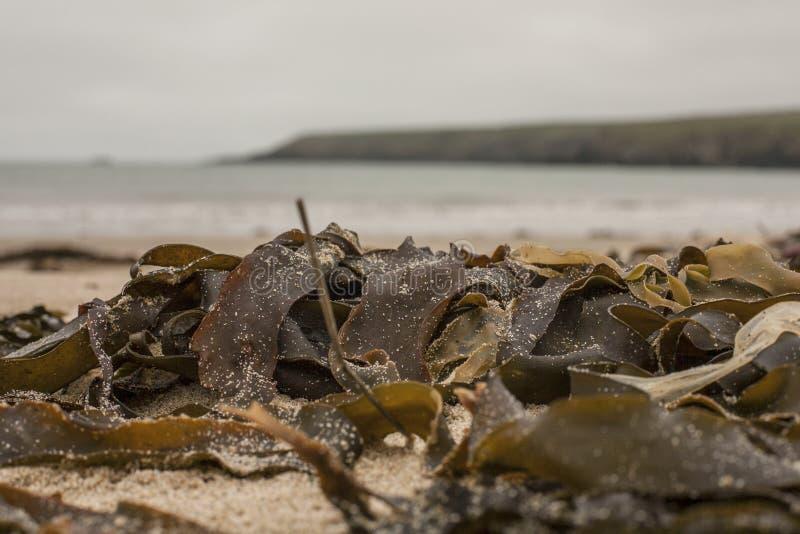 Porthor e as areias de assobio, Gales - algas fotos de stock royalty free