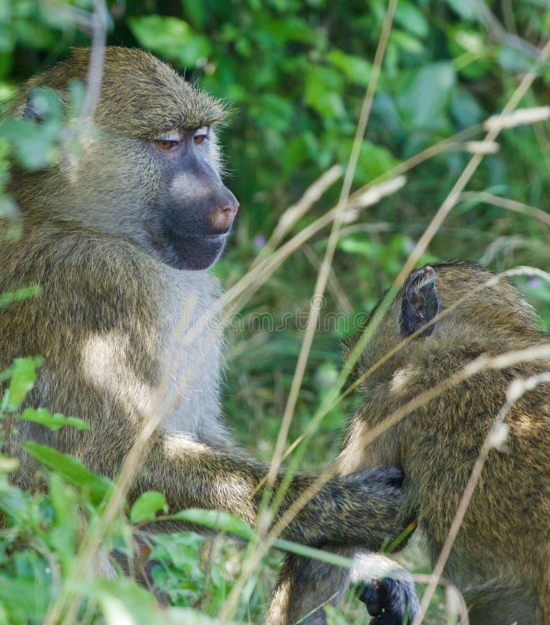 Portionen från babianerna arkivbild