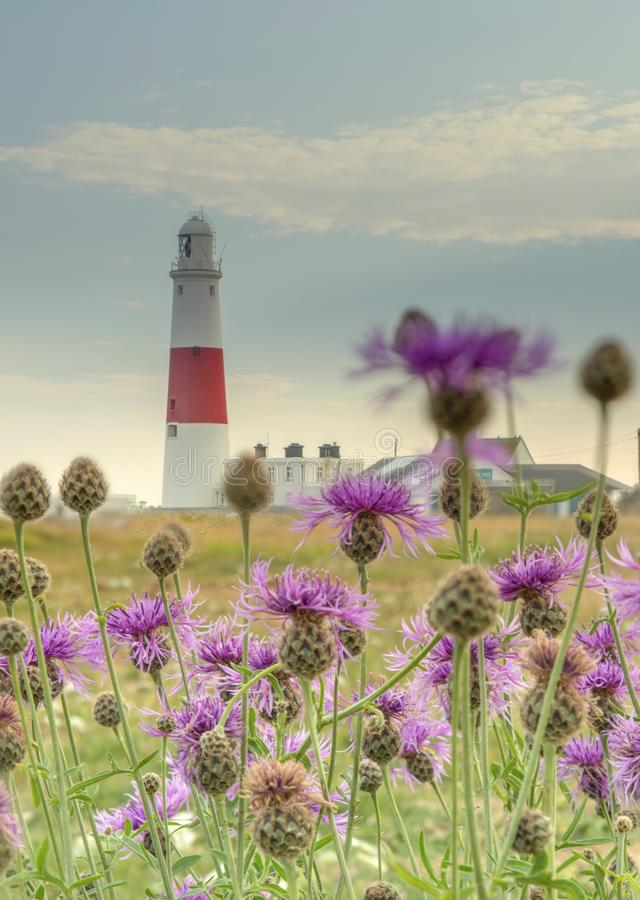 Portland Bill lighthouse. Through wild flowers on a summer evening in Dorset royalty free stock photography