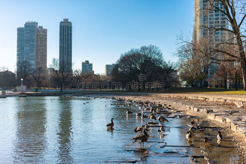 Porto de Diversey em Chicago com os patos e os gansos que olham para Lincoln Park foto de stock royalty free