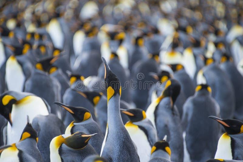 Porto do ouro da colônia do rei Penguins fotografia de stock