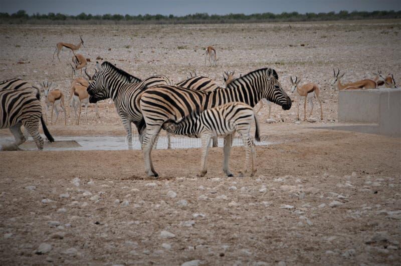 Porto Elizabeth Baby Zebra del Sudafrica che beve tramite sua madre immagine stock