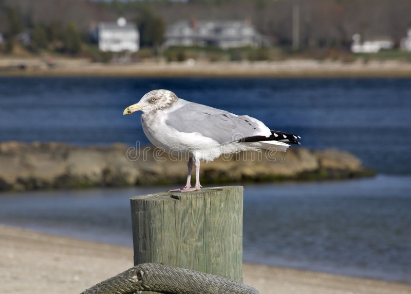 Porto Massachusetts di Marion del gabbiano immagine stock libera da diritti
