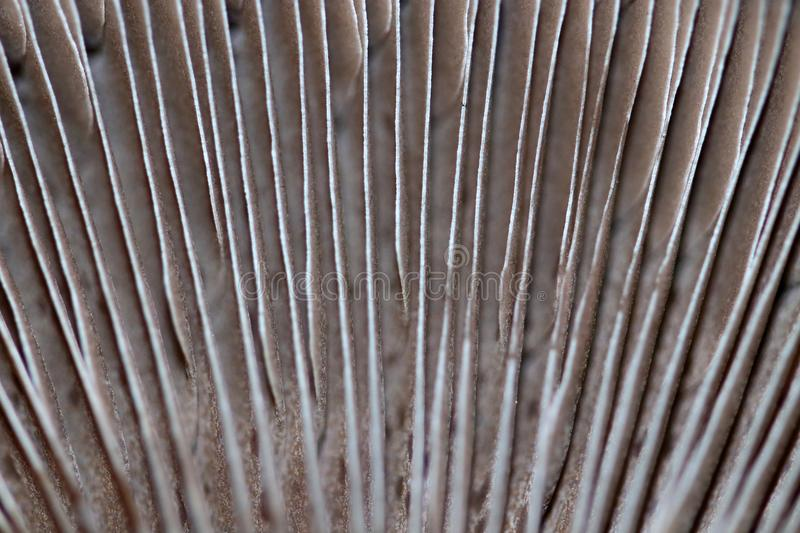 The portobello is a giant chestnut mushroom. The lamellae on the underside of portobello mushroom of the hat are colored brown and stock image