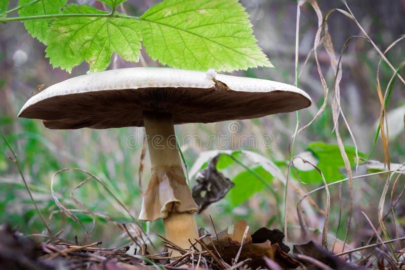 Portobello mushroom. In the autumn pine forest royalty free stock photos