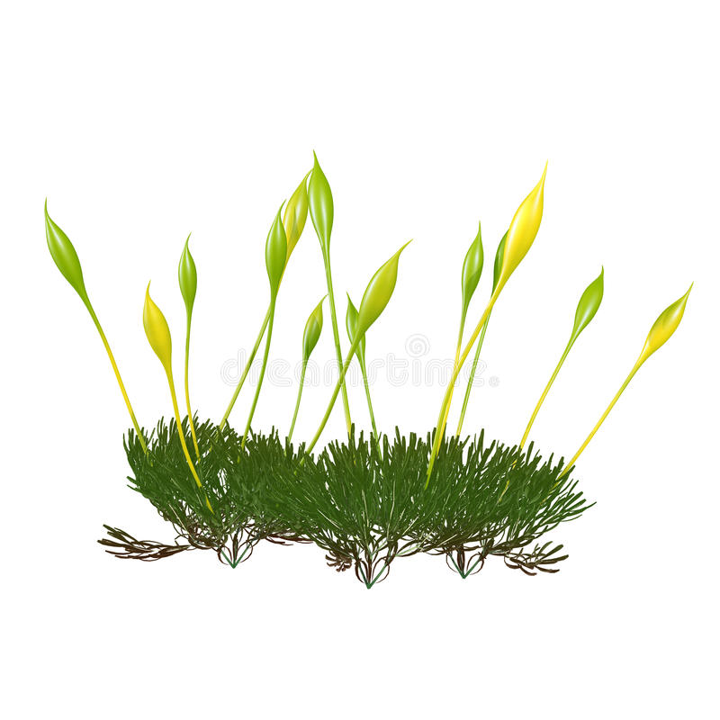 Portonema moss. A protonema is a thread-like chain of cells that forms the earliest stage (the haploid phase) of a bryophyte life cycle. When a moss royalty free stock images