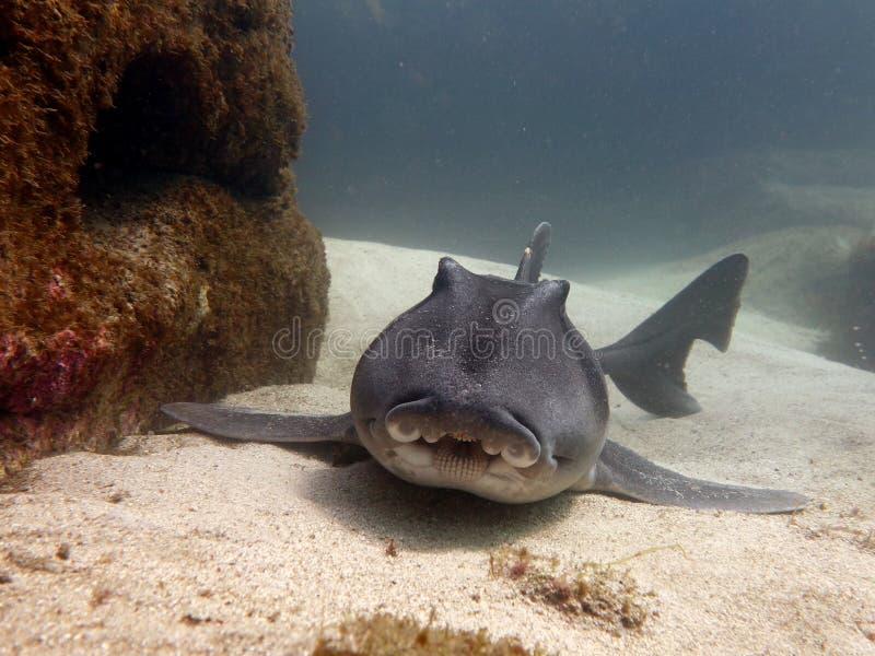 Portowy Jackson rekin zdjęcie royalty free