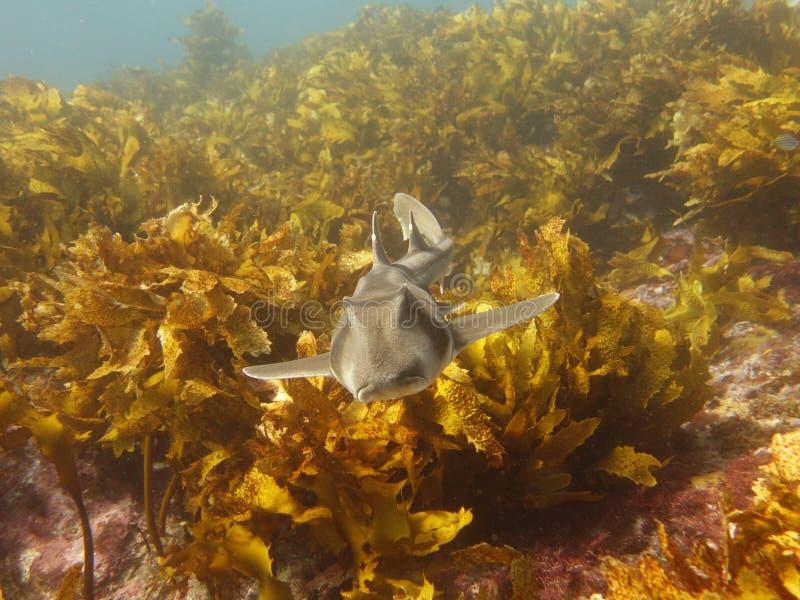 Portowy Jackson rekin obraz stock