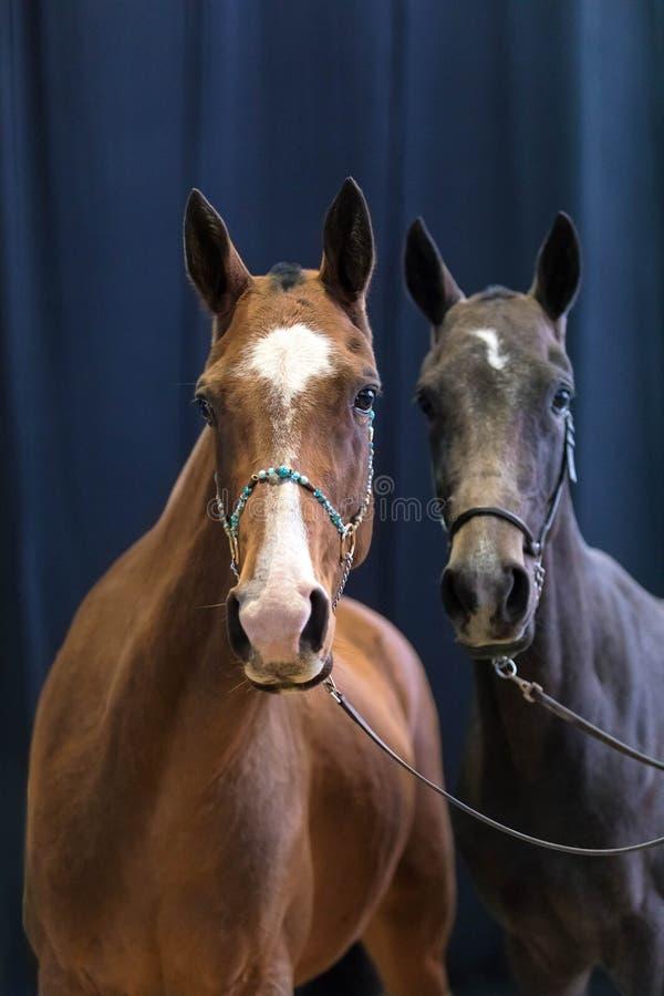 Portpait de deux chevaux adultes de pur sang de couleur rouge et noire sur un fond foncé photographie stock