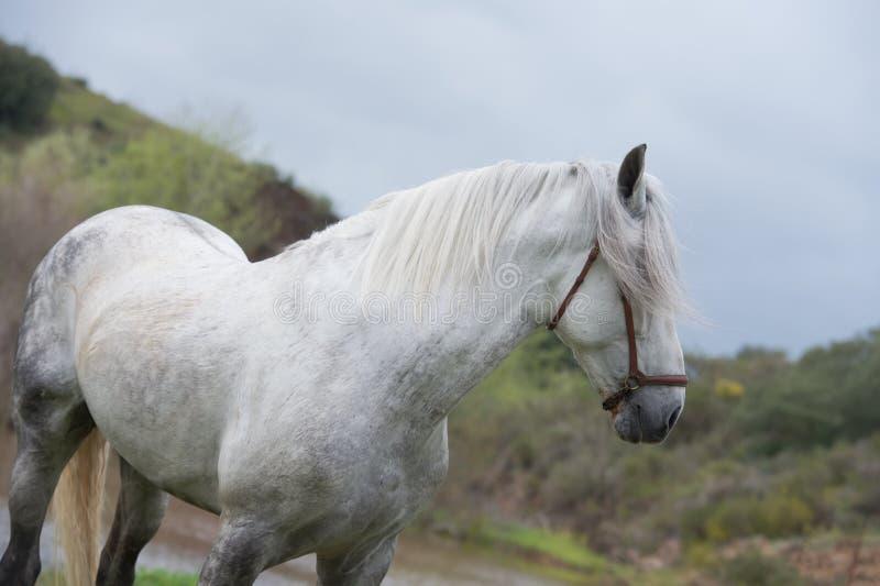Porträt des weißen reinen spanischen Hengstes, der in See aufwirft andalusia spanien lizenzfreie stockfotos
