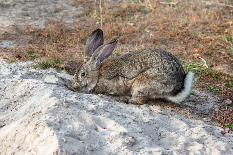 Porträt eines großen schönen Kaninchens im Yard stockfotos