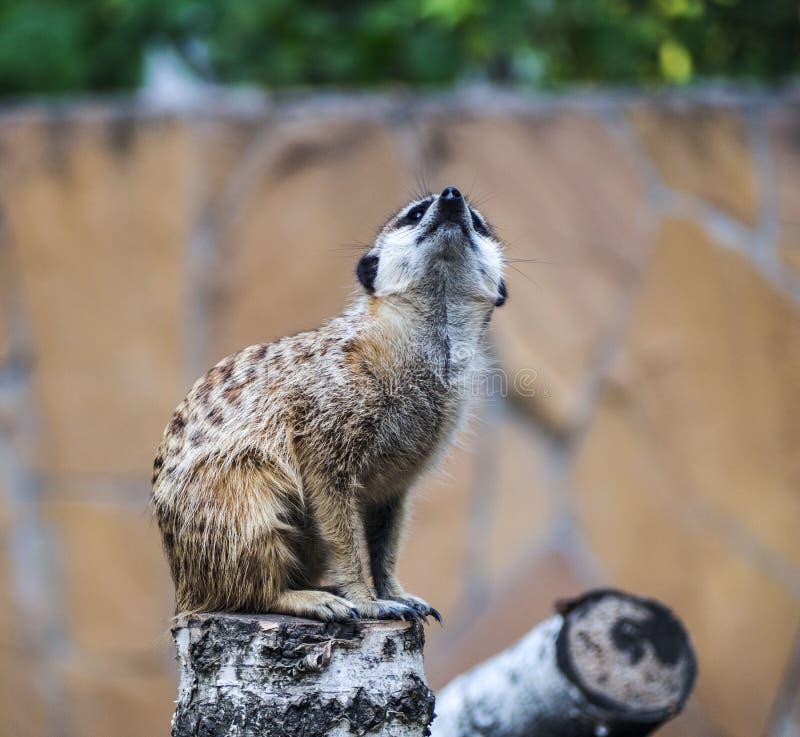 Porträt aufpassendes suricate lizenzfreies stockfoto