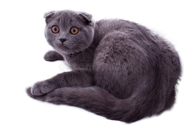 Porträt britischer Shorthair Katze lizenzfreie stockbilder