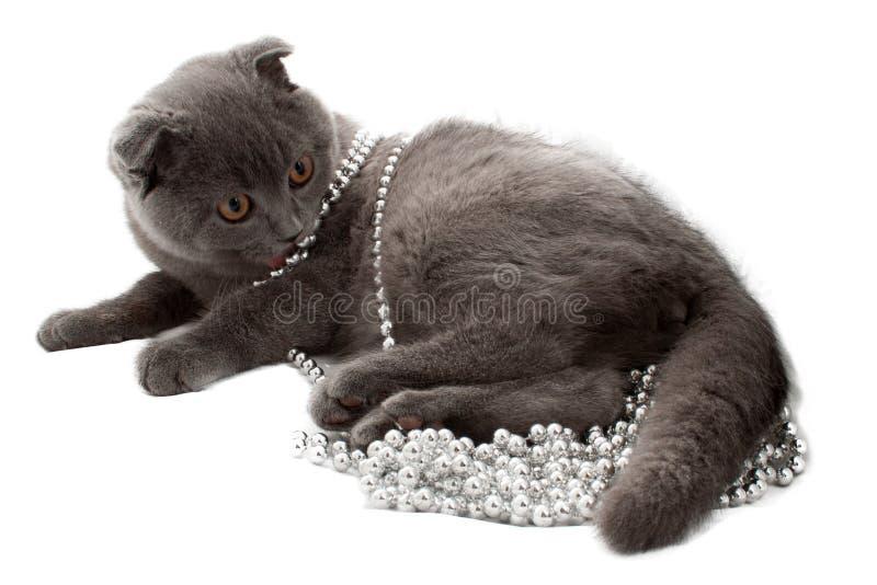 Porträt britischer Shorthair Katze stockfotos