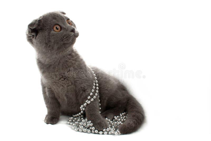 Britische Shorthair Katze stockfotos