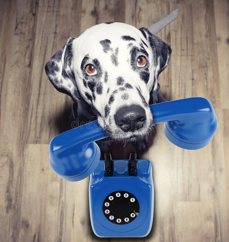 Porträt dalmatinischer Hunde mit blauem Telefone in Mund lizenzfreie stockbilder