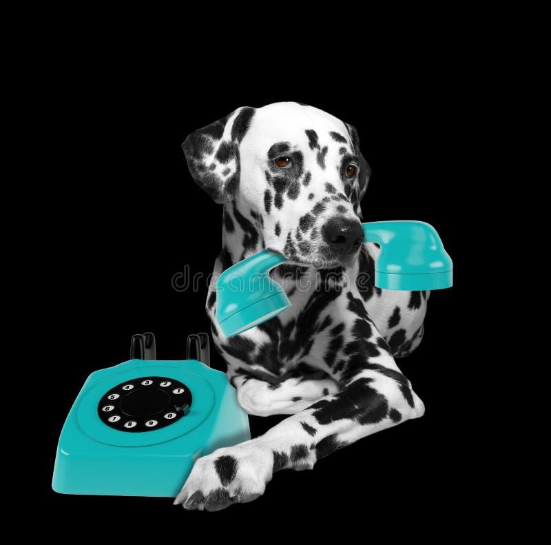 Porträt dalmatinischer Hunde mit blauem Telefone in Mund lizenzfreies stockbild