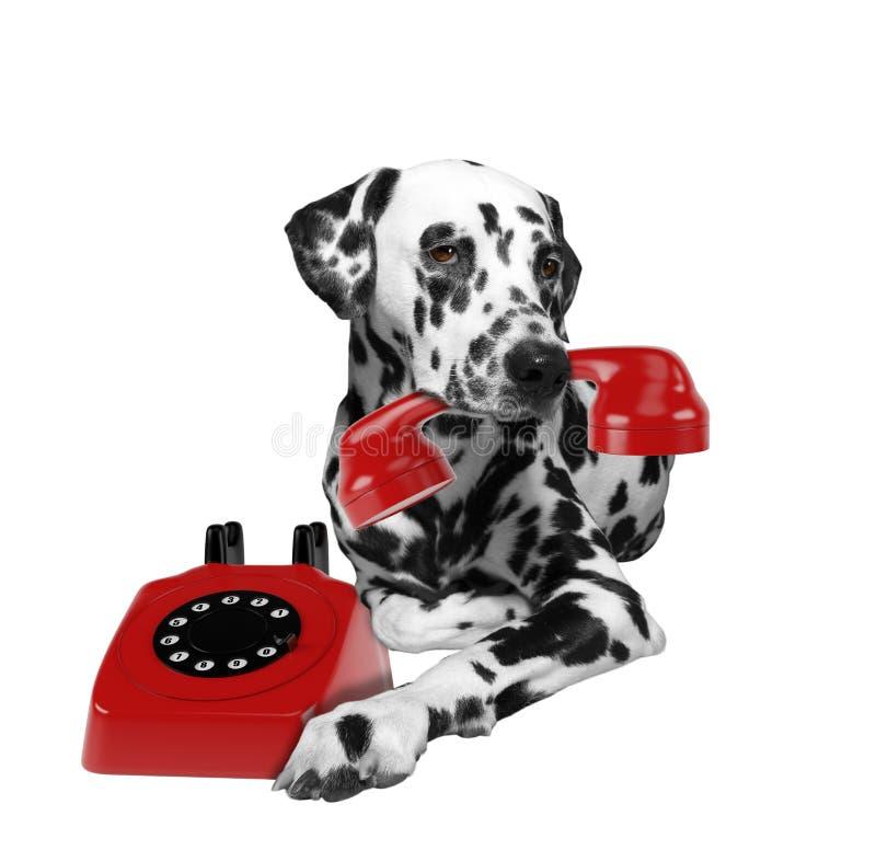 Porträt dalmatinischer Hunde mit rotem Telefone in Mund lizenzfreie stockbilder