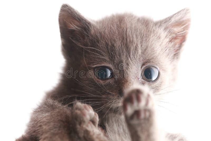 Porträt, das kleines graues Kätzchen erschrocken wird, erschrak stockbilder