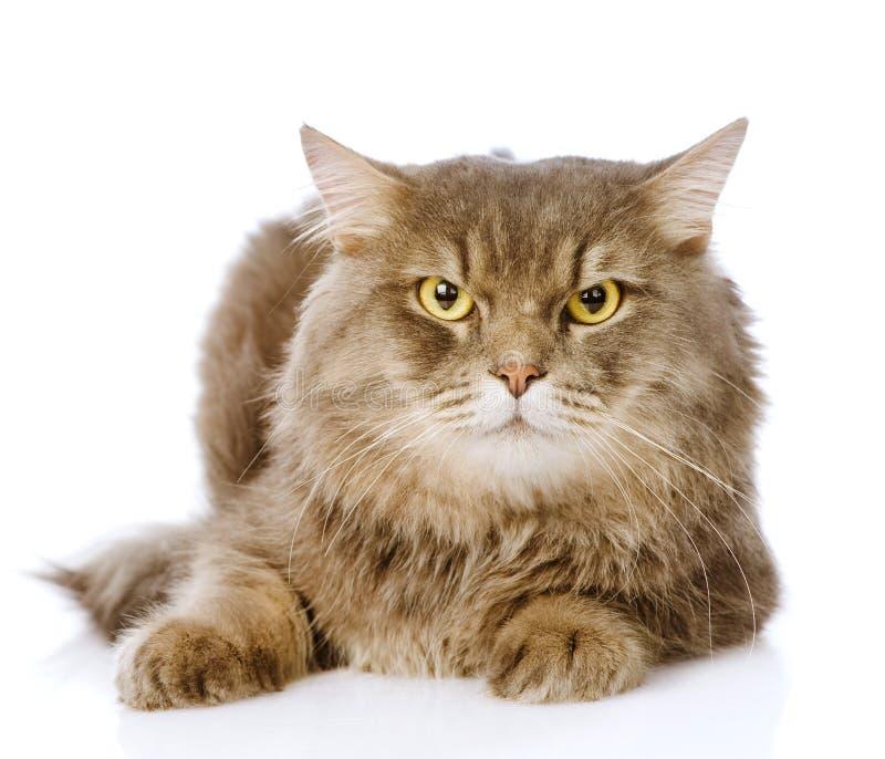 Porträt der ernsten erwachsenen Katze Auf weißem Hintergrund stockfoto