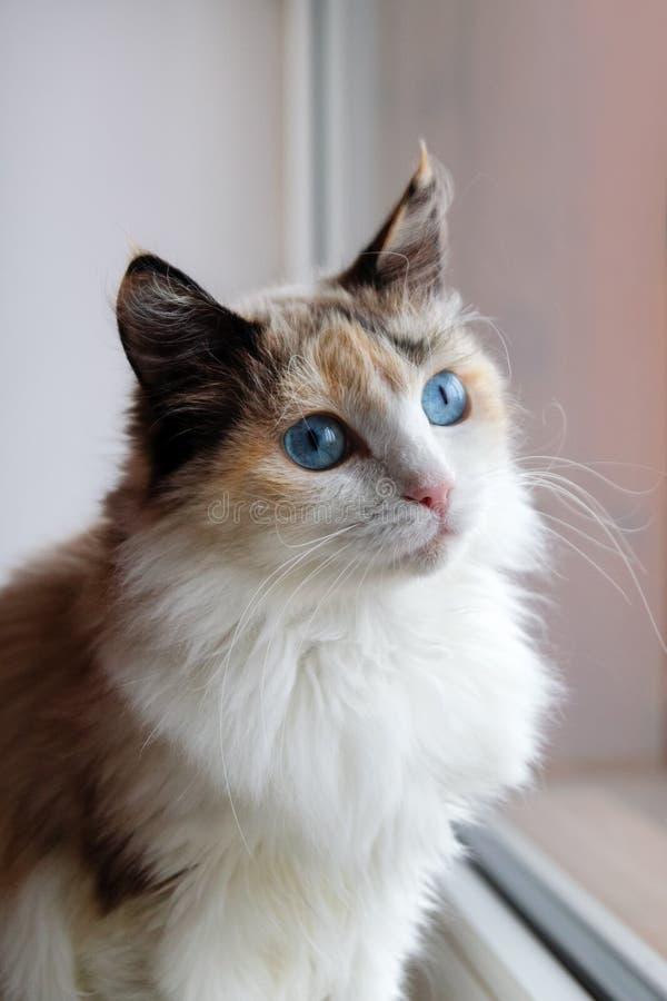 Porträt der flaumigen Katze des entzückenden Schildpatts mit den blauen Augen, die nahe zu einem Fenster sitzen stockbilder
