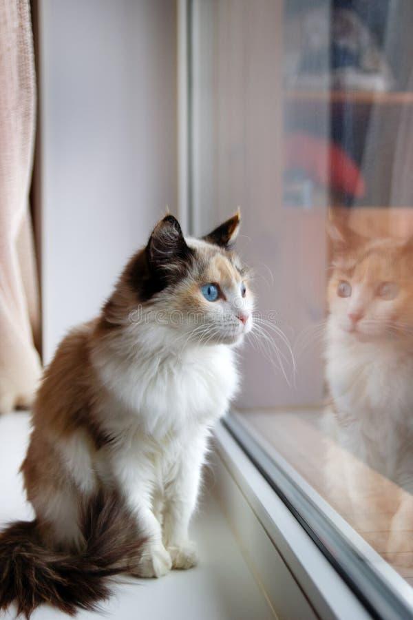 Porträt der flaumigen Katze des entzückenden Schildpatts mit den blauen Augen, die nahe zu einem Fenster sitzen lizenzfreie stockfotos