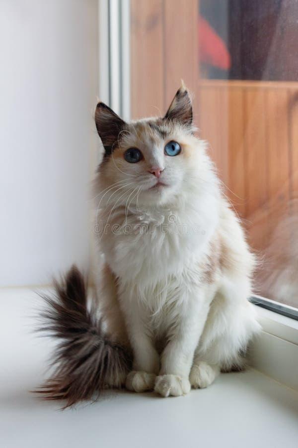 Porträt der flaumigen Katze des schönen Schildpatts mit den blauen Augen, die nahe zu einem Fenster sitzen stockfoto