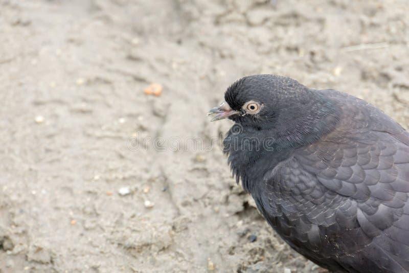 Porträt der grauen Taube lizenzfreies stockbild