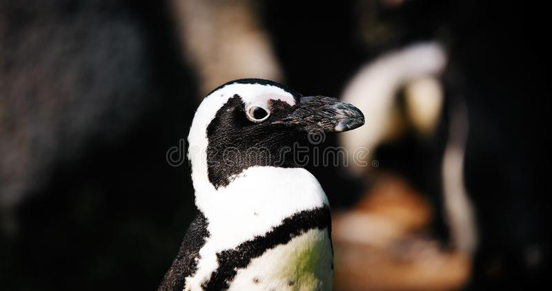 Porträt der Großaufnahme des antartic Pinguins stockbild