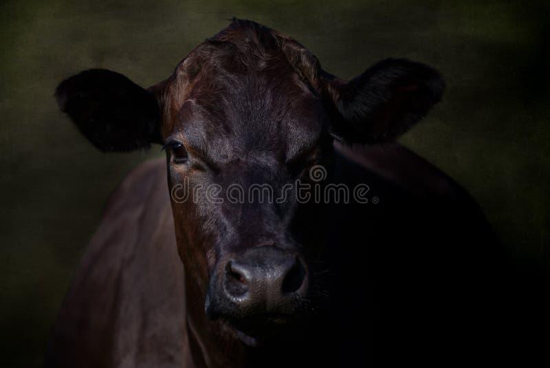 Porträt der großen schwarzen Kuh lizenzfreie stockfotografie