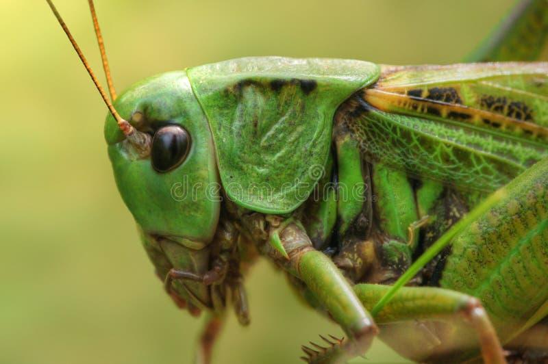 Porträt der Heuschrecke stockfoto