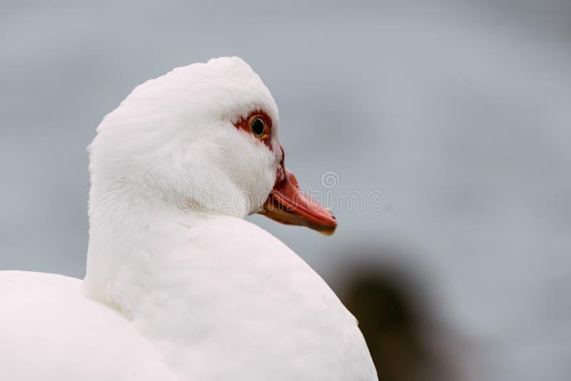 Porträt der kleinen weißen Flugente lizenzfreies stockfoto