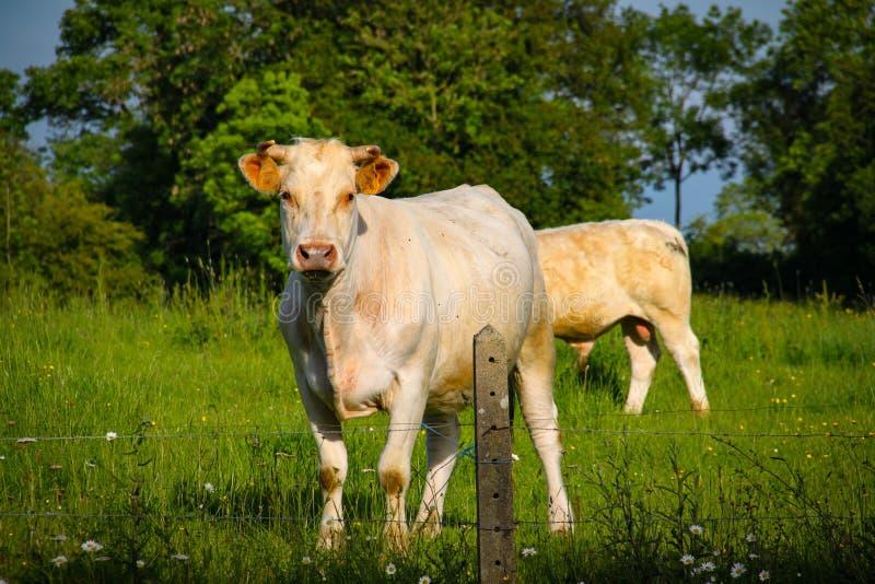 Porträt der Kuh Kamera betrachtend stockbilder