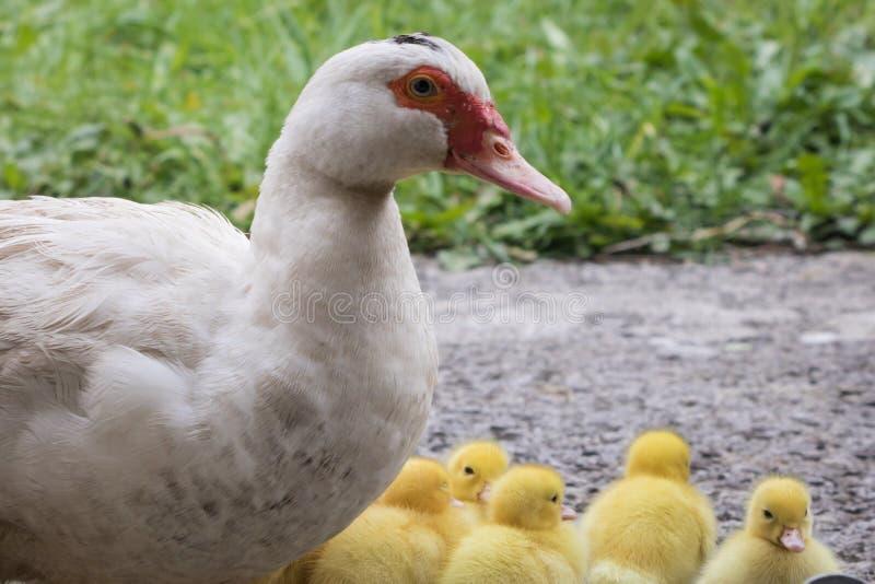 Porträt der Mutterflugente und der Gruppe netter gelber flaumiger Babyentlein, Tierfamilienkonzept stockfotografie