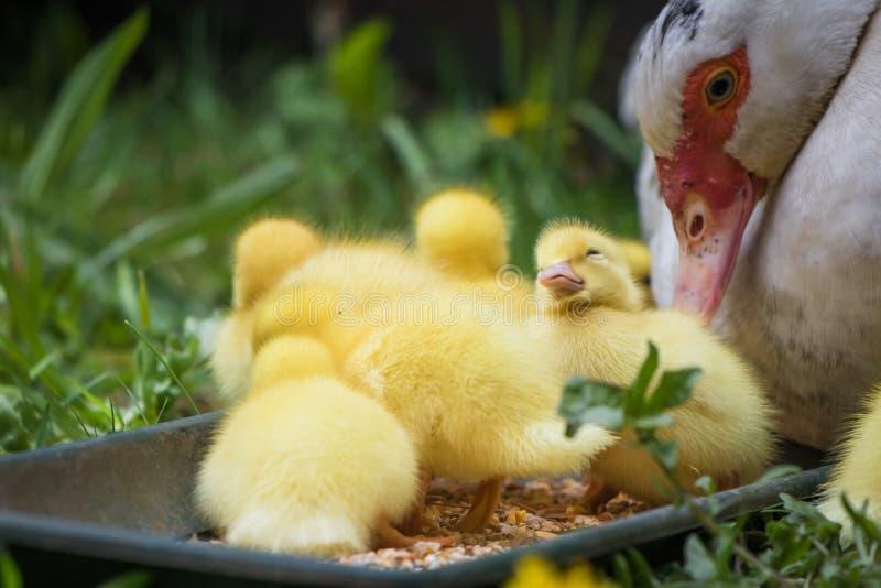Porträt der Mutterflugente und der Gruppe netter gelber flaumiger Babyentlein, Tierfamilienkonzept lizenzfreie stockbilder