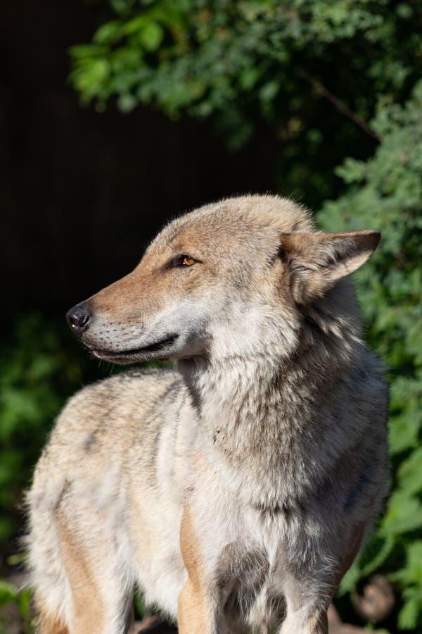 Porträt der Nahaufnahme des grauen Wolfs stockfotos