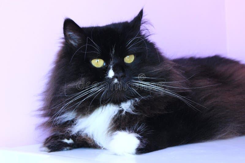 Porträt der netten schwarzen Katze stockfoto