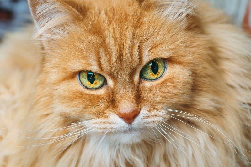 Porträt der schönen flaumigen Katze des Rotes oder des Ingwers, die Kamera betrachtet stockbild