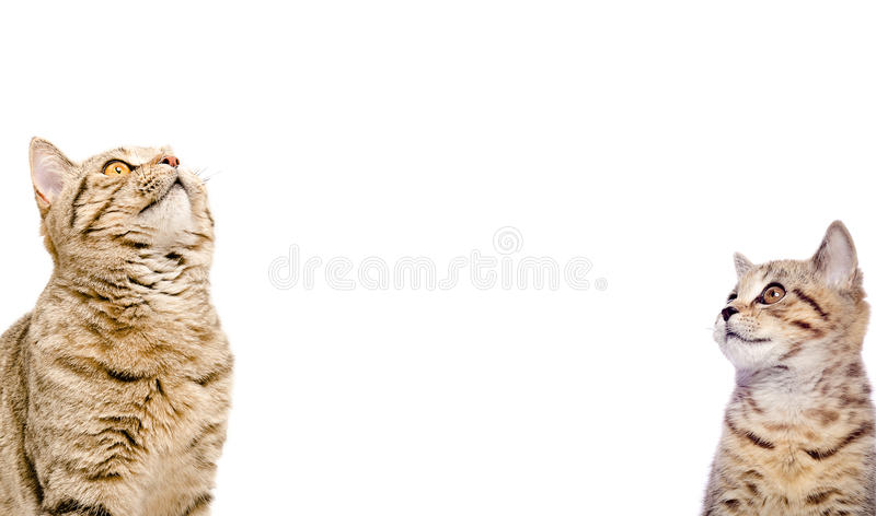 Porträt der schottischen geraden Nahaufnahme mit zwei Katzen lizenzfreie stockfotos